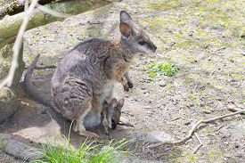 picture of tammar wallaby  - Tammar wallaby  - JPG