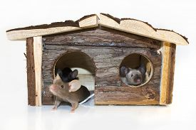 stock photo of fancy mouse  - Mice playing in a wooden house isolated  - JPG
