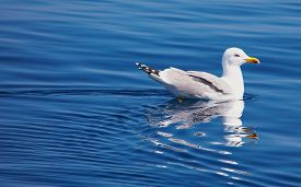 image of wallow  - white gull wallow in the Mediterranean Sea - JPG