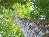 stock photo of centenarian  - The expand of centenarian large and high tree branch - JPG