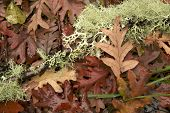 Lichen And Autumnn Leaves At Forest Ground