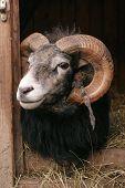 Gotland Sheep - Ram
