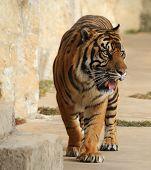 Tigre passeando