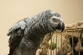 Ruffled Up Parrot