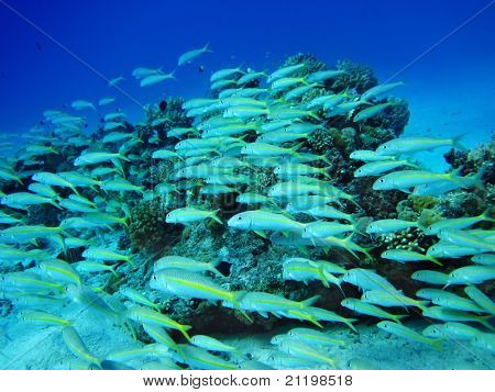 Group of coral fish in