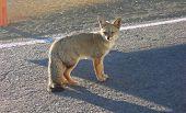Atacama Desert  fox