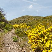 stock photo of anza  - Desert wildflowers in full bloom along the Pacific Crest Trail in California - JPG