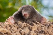 Wild Mole (talpa Europaea) In Natural Environment On A Molehill poster