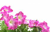 Pink Petunia Border Isolated On White