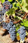 red grape in Bordeaux Region, Aquitaine, France