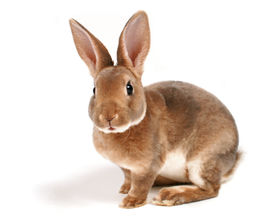 stock photo of bunny rabbit  - Brown baby bunny isolated on white background  - JPG