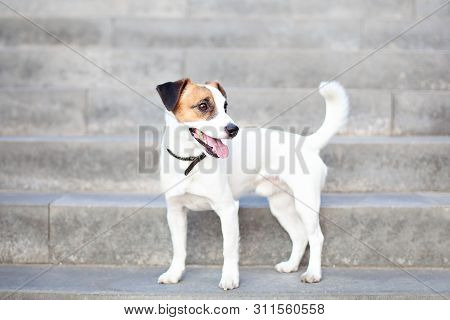 poster of Portrait Of Jack Russell Terrier. The Dog Is Standing On The Steps, Waiting For The Owner. Cute Dog