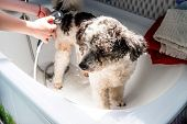 Bichon Frise Mixed Breed Dog. Pet Salon Concept. Mixed Breed Dog Being Washed By The Groomer In Pet  poster