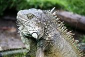 picture of guayaquil  - A sliver and gray Land Iguana in Ecuador - JPG