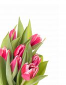 Tulips Bunch Isolated