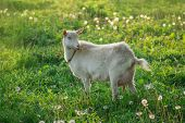 White Goat On The Farm. Domestic Goat On The Grass poster