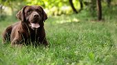 Chocolate Labrador Retriever Dog Lying On Green Grass In Park. Space For Text poster