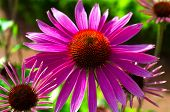 Echinacea. Flowering Of Purple Chamomile In Summer. Purple Blossom With Yellow-red Center. Flowering poster