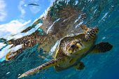 picture of sea-turtles  - peery looking turtle in the Indian Ocean - JPG