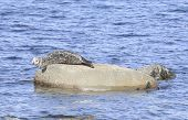 Gray Seal Basking On Rock