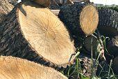 Lumber Materials. Wood Material. Cut Trees. Logs For Lumber. Trees Trunk. poster