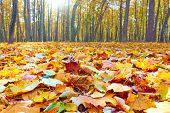 Autumn park with maple trees and yellow fallen leaves - Landscape poster