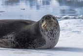 Natural Predator Of Antarctica Is Leopard Seal. Relax Animal Lying On The Ice. poster