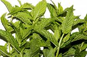 Mint Is Fragrant.fresh Mint Background.green Mint Leaves. poster