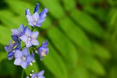 Wild Forest Flowers Of Blue Color On A Natural Background. Macro Shooting Of Nature In The Wild. Sel poster