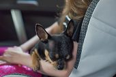 Companion Dog Sitting In The Car. Chihuahua Dog In The Car In The Hands Of A Little Girl. Chihuahua  poster