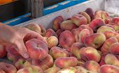 View On Fresh Ripe Juicy Saturn Peach. Fruits From The Farmers Market. Eco Products. Vitamins Vegeta poster