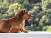 A Brown Dog Lying On A Wall, Illuminated By The Sun, Paying Attention To Something. In The Unfocused poster