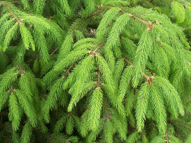 image of pine-needle  - Close up of the young pine branches - JPG