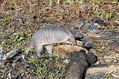Armadillo Digging In Log