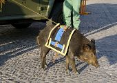 A wildboar, the  mascot of the legionaries