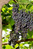 Cluster Of Grapes In Vineyard Ripening As Harvest Approaches