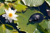 Turtle And A Water Lily