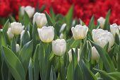weiße Tulpe Blume im Garten