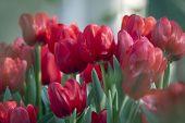 rote Tulpe Blume im Garten mit geringe Schärfentiefe
