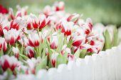 weiße und rote Tulpe Blume im Garten