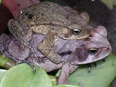 Frogs Copulating poster