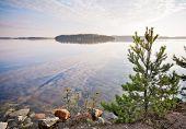 Little Pine Trees On The Coast Of Saimaa Lake, Karelia, Finland