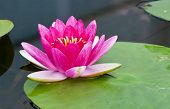 stock photo of lillies  - beautiful pink  lotus in the pond  - JPG