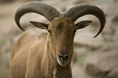 foto of north sudan  - A barbary sheep standing on a rock Ammotragus lervia - JPG