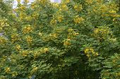 pic of transpiration  - close up of the bushy cassia tree with full yellow blooms at a park - JPG