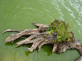 The Rotten Stump Of Tree In The Water