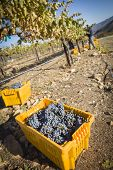 Workers Harvest Ripe Red Wine Grapes Into Bins One Fall Morning.