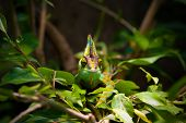 image of chameleon  - The Veiled chameleon  - JPG