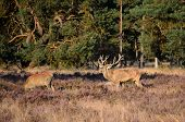 picture of cervus elaphus  - Male red deer stag  - JPG