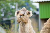 picture of crooked teeth  - A close up front view of an arabian camel also known as Camelus dromedarius showing her teeth - JPG